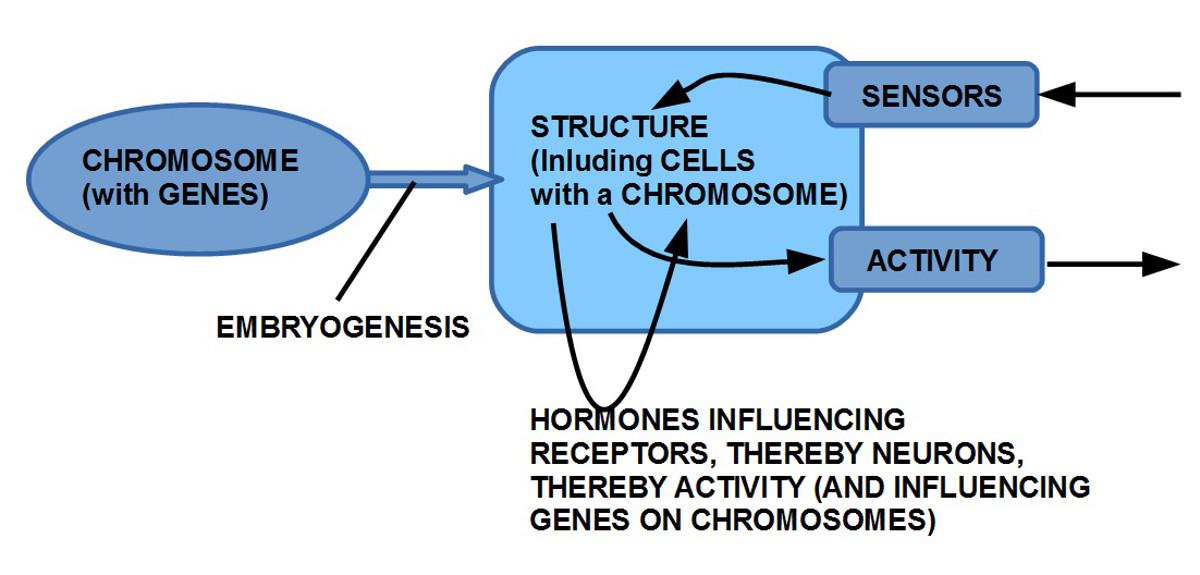 Genetische Informationen beeinflussen die Strukturbildung des Körpers und geschlechterspezifische Hormone beinflussen über Neuronen spezifische Verhaltenskomplexe (bis hin zur Änderung chromosomaler Strukturen)