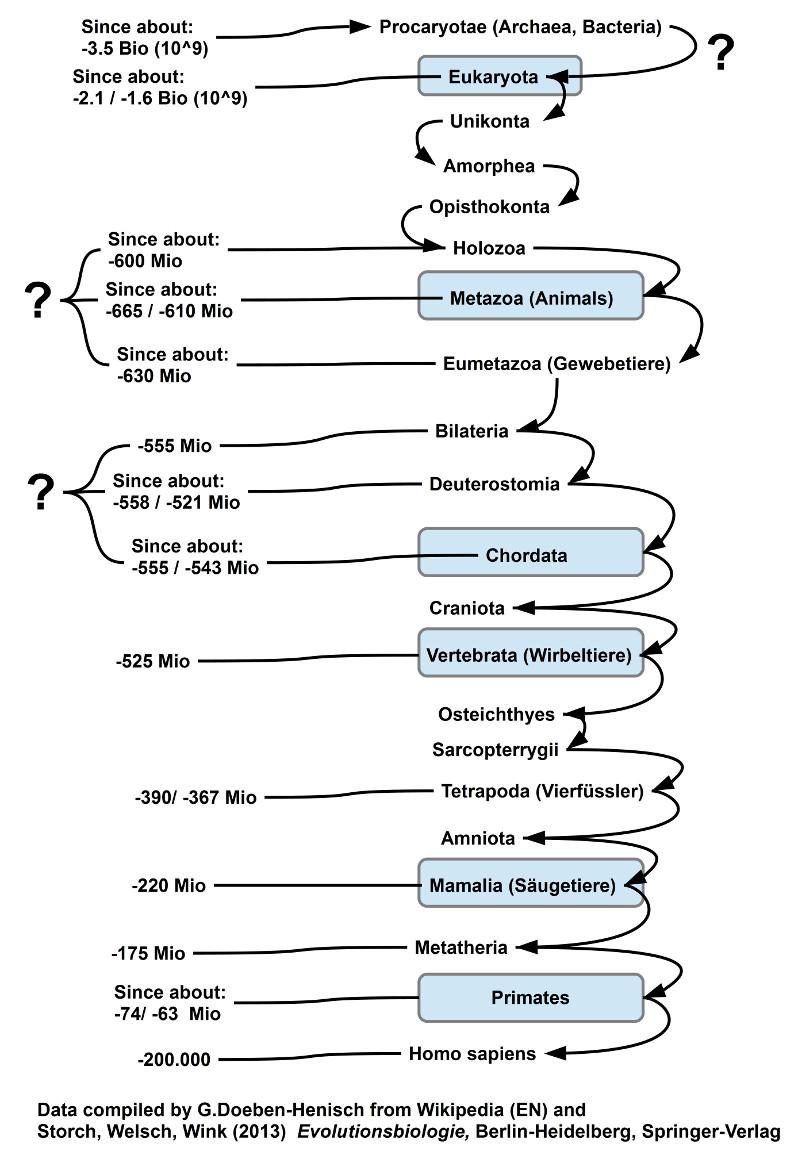 Stammbaum der Lebensform homo sapiens bis zu den Wurzeln (Man beachte die noch unbefriedigende Koordinierung der Datierungen)